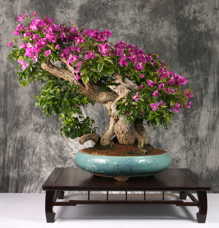 Bougainvillea bonsai otaku for Bougainvillea bonsai prezzo
